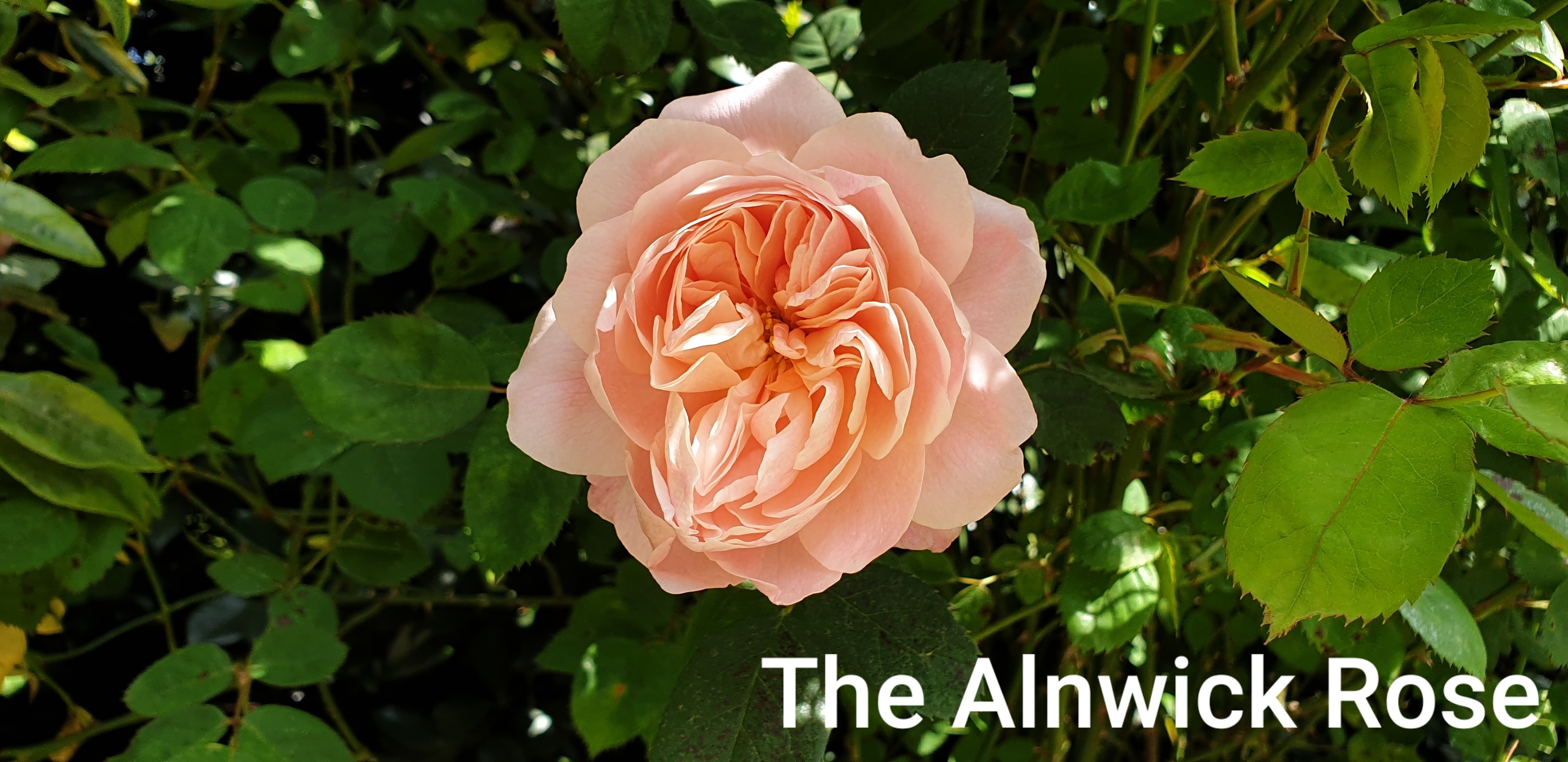 An Alnwick Rose in the Buckingham Palace gardens