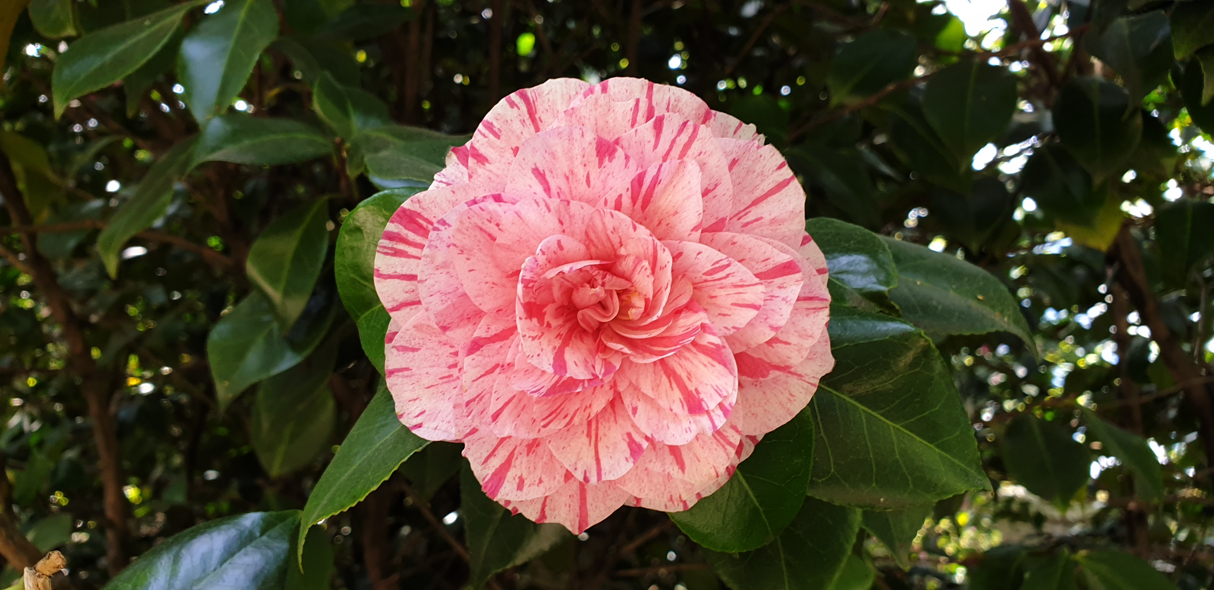 A speckled camellia
