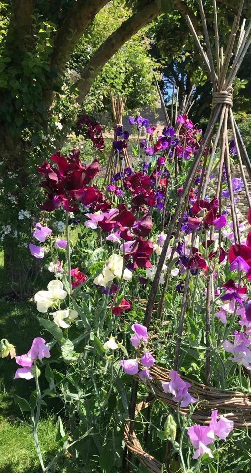 The Duchess of Gloucester's image of sweet peas