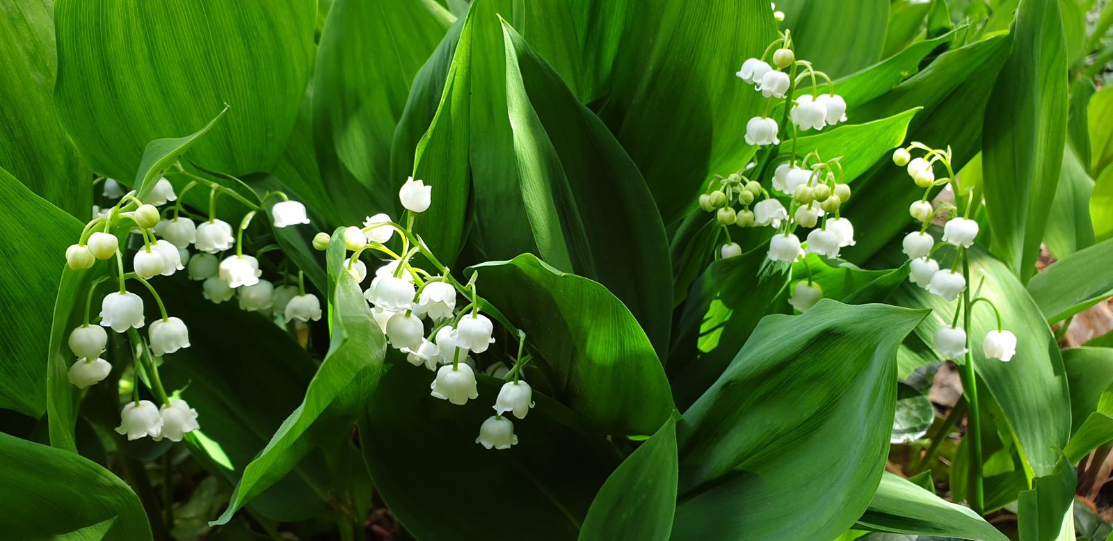 Lily of the valley in the Buckingham Palace gardens