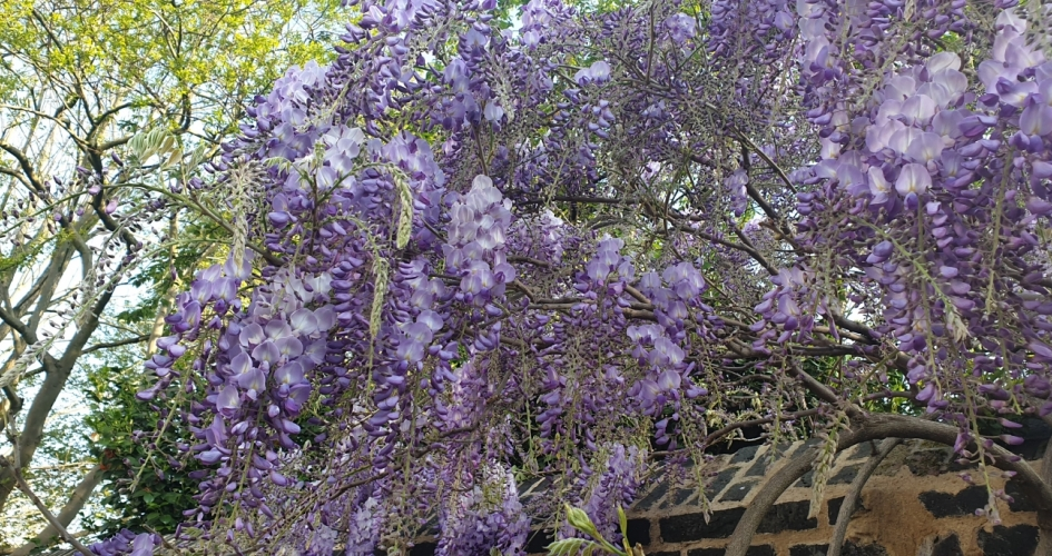 Wisteria in the Buckingham Palace garden